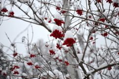 Κόκκινη τέφρα βουνών κάτω από το παράθυρό μου Στοκ Εικόνα
