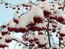 Κόκκινη τέφρα βουνών σε έναν κλάδο στο χιόνι Στοκ εικόνες με δικαίωμα ελεύθερης χρήσης