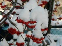 Κόκκινη τέφρα βουνών σε έναν κλάδο στο χιόνι Στοκ Εικόνα