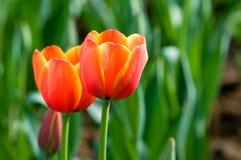 κόκκινη τουλίπα λουλο&upsi Στοκ εικόνες με δικαίωμα ελεύθερης χρήσης