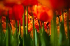 κόκκινη τουλίπα λουλο&upsi Στοκ φωτογραφία με δικαίωμα ελεύθερης χρήσης
