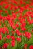 κόκκινη τουλίπα 01 Στοκ Φωτογραφίες