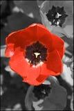 κόκκινη τουλίπα Στοκ Εικόνες