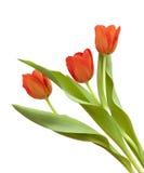 κόκκινη τουλίπα λουλο&ups Στοκ Φωτογραφία