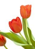 κόκκινη τουλίπα λουλο&ups Στοκ φωτογραφία με δικαίωμα ελεύθερης χρήσης