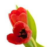 κόκκινη τουλίπα λουλο&ups Στοκ φωτογραφίες με δικαίωμα ελεύθερης χρήσης