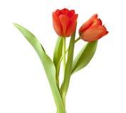κόκκινη τουλίπα λουλο&ups Στοκ Εικόνα