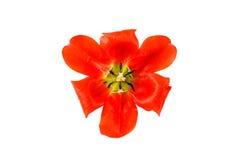 Κόκκινη τουλίπα σε μια κούπα γυαλιού που γεμίζουν με το νερό closeup Κόκκινη ροή Στοκ Εικόνες