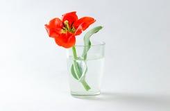 Κόκκινη τουλίπα σε μια κούπα γυαλιού που γεμίζουν με το νερό closeup Κόκκινη ροή Στοκ Φωτογραφία