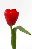 Κόκκινη τουλίπα Στοκ εικόνα με δικαίωμα ελεύθερης χρήσης