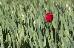 Κόκκινη τουλίπα Στοκ Εικόνα