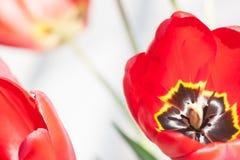 κόκκινη τουλίπα 01 Στοκ Φωτογραφία