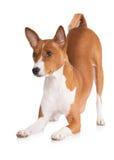 Κόκκινη υπόκλιση σκυλιών basenji κάτω Στοκ φωτογραφία με δικαίωμα ελεύθερης χρήσης