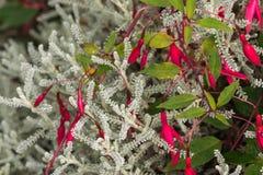 Κόκκινη φούξια ένωση λουλουδιών στο πάρκο Στοκ φωτογραφία με δικαίωμα ελεύθερης χρήσης