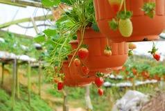 Κόκκινη φράουλα έτοιμη για τη συγκομιδή Στοκ φωτογραφία με δικαίωμα ελεύθερης χρήσης