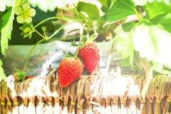 Κόκκινη φράουλα μούρων που απομονώνεται Στοκ Φωτογραφία