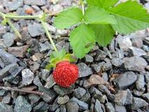 Κόκκινη φράουλα στοκ φωτογραφίες
