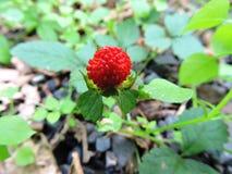 Κόκκινη φράουλα στοκ εικόνα με δικαίωμα ελεύθερης χρήσης