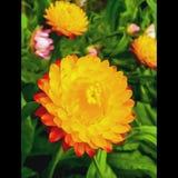 Κόκκινη φύση λουλουδιών combo Goldenyellow στοκ εικόνα