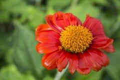 κόκκινη φύση λουλουδιών Στοκ Φωτογραφίες