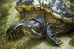 κόκκινη χελώνα προσώπου στοκ φωτογραφία με δικαίωμα ελεύθερης χρήσης