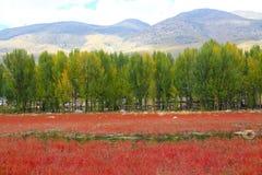 Κόκκινη χλόη Sangdui Στοκ Εικόνες