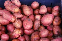 Κόκκινη ώριμη στενή επάνω φωτογραφία πατατών στην αγορά στοκ φωτογραφία με δικαίωμα ελεύθερης χρήσης