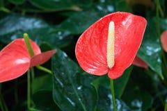 Κόκκινη Anthurium άνθιση Στοκ Φωτογραφία