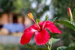 Κόκκινη hibiscus άνθιση λουλουδιών στον κήπο στοκ εικόνα με δικαίωμα ελεύθερης χρήσης