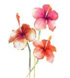 Κόκκινη Hibiscus ζωγραφική watercolor λουλουδιών διανυσματική απεικόνιση