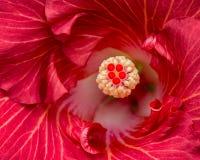 Κόκκινη Hibiscus μακροεντολή λουλουδιών Στοκ εικόνες με δικαίωμα ελεύθερης χρήσης