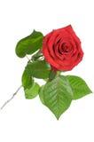 κόκκινη Rosa Στοκ φωτογραφία με δικαίωμα ελεύθερης χρήσης