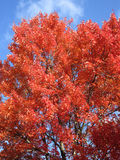 Κόκκινοι δέντρο και μπλε ουρανός σφενδάμνου στοκ φωτογραφίες