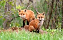 Κόκκινοι αμφιθαλείς αλεπούδων Στοκ φωτογραφία με δικαίωμα ελεύθερης χρήσης