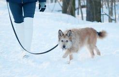 Κόκκινοι δασύτριχοι περίπατοι σκυλιών τεριέ μιγάς στο λουρί στο χιόνι Στοκ εικόνα με δικαίωμα ελεύθερης χρήσης