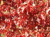 Κόκκινοι δρύινοι κλάδοι δέντρων, Λιθουανία Στοκ φωτογραφία με δικαίωμα ελεύθερης χρήσης