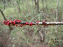 Κόκκινοι κάνθαροι με τα αυγά στον κλάδο δέντρων στη Σουαζιλάνδη Στοκ Φωτογραφίες
