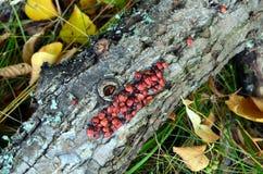 Κόκκινοι κάνθαροι σε ένα παλαιό δέντρο Στοκ φωτογραφία με δικαίωμα ελεύθερης χρήσης
