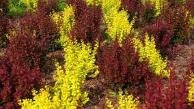 Κόκκινοι και κίτρινοι θάμνοι barberry 4K απόθεμα βίντεο