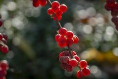 Κόκκινοι καρποί του umbellata Elaeagnus σε ένα κλίμα του πράσινου φυλλώματος ενός δέντρου ή ενός θάμνου στοκ εικόνες