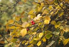 Κόκκινοι καρποί Στοκ Εικόνα