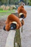 Κόκκινοι κερκοπίθηκοι Ruffed στο ζωολογικό κήπο Άμστερνταμ Artis οι Κάτω Χώρες Στοκ Φωτογραφία