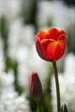 Κόκκινοι κεφάλι λουλουδιών τουλιπών και οφθαλμός λουλουδιών, υπόβαθρο με τα άσπρα λουλούδια Στοκ φωτογραφίες με δικαίωμα ελεύθερης χρήσης