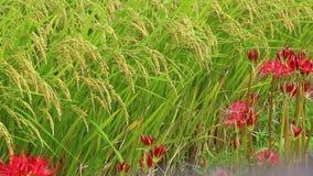 Κόκκινοι κρίνοι αραχνών, ή τομείς higanbana και ρυζιού απόθεμα βίντεο