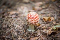 Κόκκινοι μύκητες μανιταριών Στοκ Εικόνες