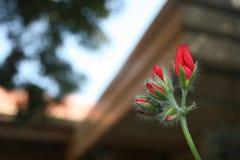 Κόκκινοι λουλούδια και οφθαλμοί Στοκ Εικόνα
