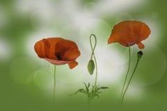 Κόκκινοι λουλούδια και οφθαλμός παπαρουνών Στοκ φωτογραφία με δικαίωμα ελεύθερης χρήσης