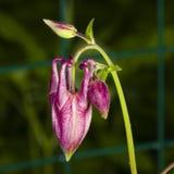 Κόκκινοι οφθαλμοί λουλουδιών του ευρωπαϊκού ή κοινού columbine, Aquilegia vulgaris, με την κινηματογράφηση σε πρώτο πλάνο υποβάθρ Στοκ εικόνα με δικαίωμα ελεύθερης χρήσης