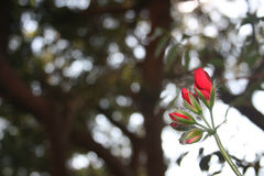 Κόκκινοι οφθαλμοί λουλουδιών Στοκ εικόνα με δικαίωμα ελεύθερης χρήσης