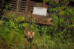 Κόκκινοι περίπατοι Vulpes εξαρτήσεων αλεπούδων vulpes από το παλαιό φορτηγό Στοκ Εικόνες